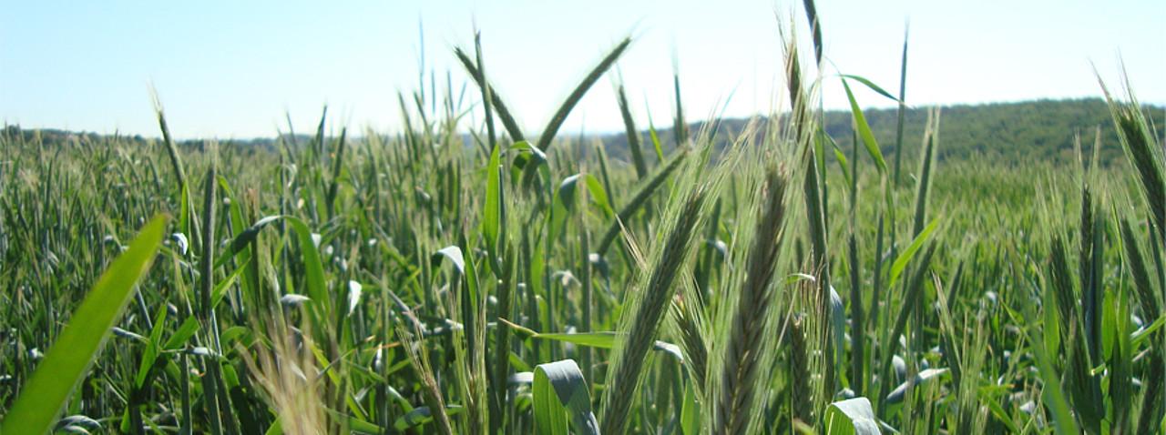 Grain Upuni Hohenheimde